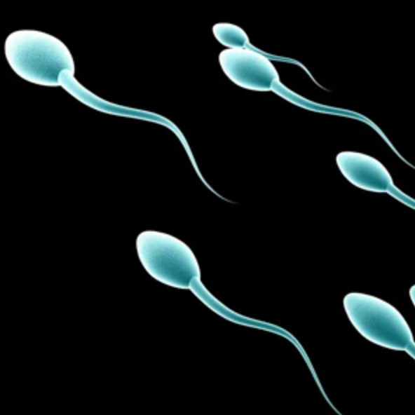 Sperm swimming towards the egg